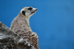 Meerkat / Suricate Royalty Free Stock Photography