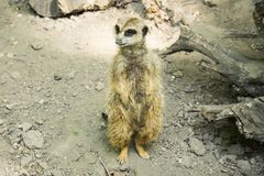 The meerkat or suricate is a small carnivoran belonging to the mongoose family. It is the only member of the genus Suricata. A group of meerkats is called a `mob royalty free stock image