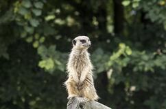 Meerkat. A meerkat (suricate), a small mammal belonging to the mongoose family, in its typical standing position watching carefully around Royalty Free Stock Photography