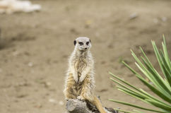 Meerkat. A meerkat (suricate);, a small mammal belonging to the mongoose family, in its typical standing position watching carefully around Stock Photo