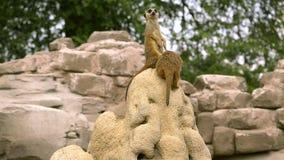 Meerkat stock footage