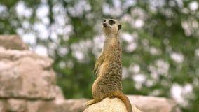 Meerkat stock video footage