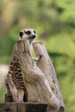 Meerkat or Suricate. Stock Photo