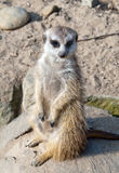 Meerkat or suricate Royalty Free Stock Photography