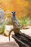 The Meerkat or Suricate standing on the log stock photos