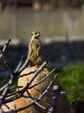 Meerkat - suricate on stone. Sit on sunset Royalty Free Stock Photography