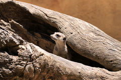 Meerkat Suricate - Suricata Suricatta Imagem de Stock Royalty Free