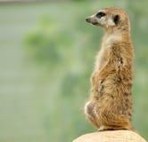 Meerkat or suricate (Suricata, suricatta) Royalty Free Stock Image