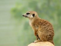 Meerkat or suricate (Suricata, suricatta) Stock Image