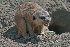 Meerkat or Suricate (Suricata suricatta) Stock Image