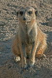 Meerkat or Suricate (Suricata suricatta) Royalty Free Stock Images