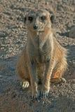 Meerkat or Suricate (Suricata suricatta) Royalty Free Stock Images