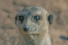 Meerkat or Suricate (Suricata suricatta) Royalty Free Stock Photo
