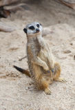Meerkat (Suricate, Suricata suricatta) Lizenzfreies Stockbild