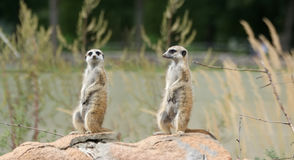 Meerkat or suricate (Suricata, suricatta) Stock Photos
