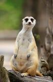 Meerkat or Suricate, Suricata suricatta Royalty Free Stock Photography