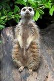 The meerkat or suricate Stock Photos