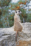 Meerkat or Suricate Royalty Free Stock Image