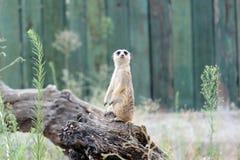 Meerkat, suricate Stock Photo