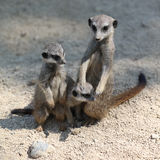 Meerkat or Suricate. Suricata suricatta Stock Photos