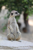 Meerkat or Suricate. Suricata suricatta Royalty Free Stock Images