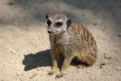 Meerkat or Suricate. Suricata suricatta Stock Photo