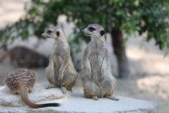 Meerkat or Suricate Stock Image