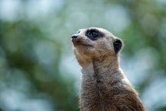 Meerkat or Suricate (Suricata suricatta) Stock Photos