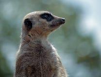 Meerkat or Suricate (Suricata suricatta) Royalty Free Stock Image