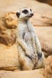 Meerkat or Suricate, Suricata suricatta Stock Photo