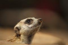 Meerkat or Suricate, Suricata suricatta Royalty Free Stock Image