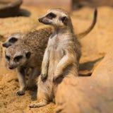 Meerkat or Suricate, Suricata suricatta Royalty Free Stock Photos