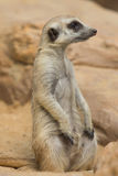 Meerkat or Suricate, Suricata suricatta Stock Photo