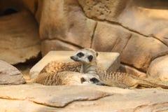 Meerkat or Suricate, Suricata suricatta Stock Images