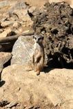 Meerkat or Suricate Royalty Free Stock Photos