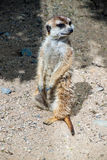 Meerkat or suricate Royalty Free Stock Photos