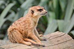 Meerkat - Suricate - Suricata suricatta Stock Image