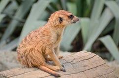 Meerkat - Suricate - Suricata suricatta Stock Images