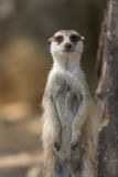 The meerkat or suricate Suricata suricatta is a small carnivoran belonging to the mongoose family Royalty Free Stock Image