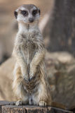 The meerkat or suricate Suricata suricatta is a small carnivoran belonging to the mongoose family Royalty Free Stock Photos