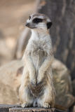 The meerkat or suricate Suricata suricatta is a small carnivoran belonging to the mongoose family Stock Images