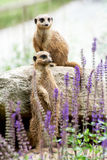 The Meerkat or Suricate (Suricata suricatta) Stock Images