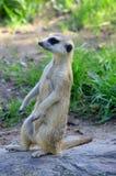 The meerkat Royalty Free Stock Image