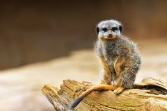 Meerkat or suricate Suricata suricatta is a small carnivoran belonging to the mongoose family Herpestidae. It is the only memb Royalty Free Stock Images