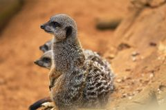 Meerkat or suricate Suricata suricatta is a small carnivoran belonging to the mongoose family Herpestidae. It is the only memb Royalty Free Stock Photo