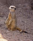 A Meerkat on the move. The meerkat or suricate Suricata suricatta is a small carnivoran belonging to the mongoose family Herpestidae. It is the only member of royalty free stock photos
