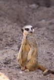 A Meerkat on the move. The meerkat or suricate Suricata suricatta is a small carnivoran belonging to the mongoose family Herpestidae. It is the only member of royalty free stock photo