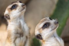 The meerkat or suricate Suricata suricatta is a small carnivoran belonging to the mongoose family. Two animals is looking. Focus o Stock Photos