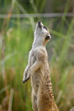 Meerkat. The meerkat or suricate, Suricata suricatta, is a small mammal belonging to the mongoose family. Meerkats live in all parts of the Kalahari Desert in Stock Photography