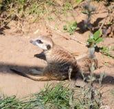 Meerkat or suricate (Suricata, suricatta) Stock Images